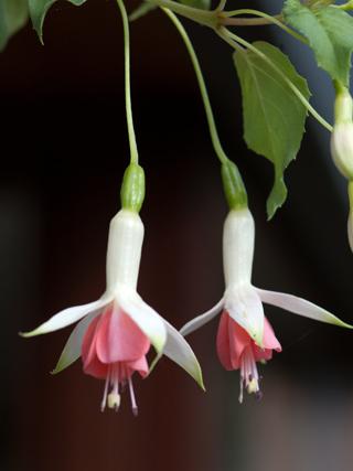Fuchsia - espèces et variétés frileuses Hidcot10