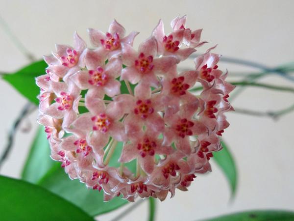 Hoya camphorifolia Hoya_c10