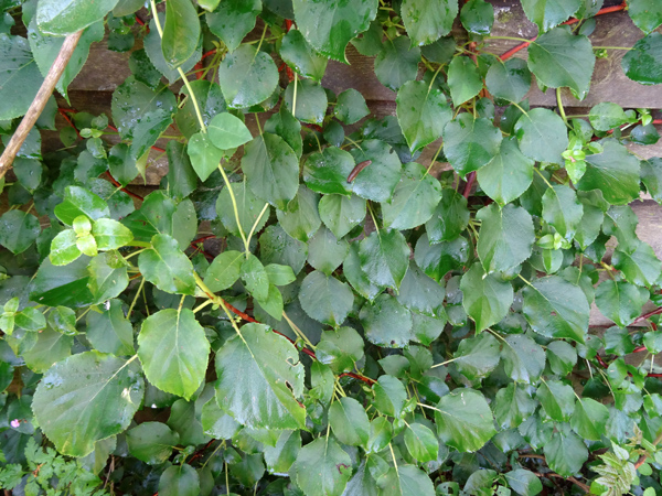 Hydrangea petiolaris Hydran10