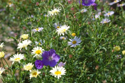 massifs en bleu - fleurs bleues et belles associations Kalime10