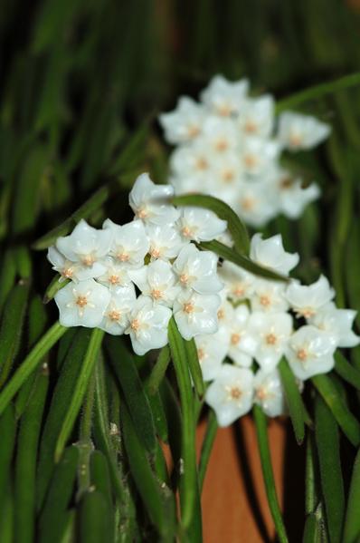 Hoya linearis Linea10