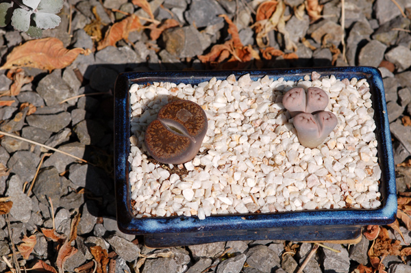 collection de Minique Lithop11