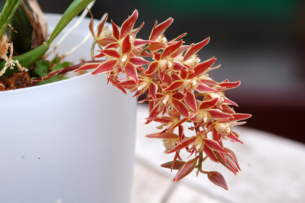 Macradenia multiflora Macrad10