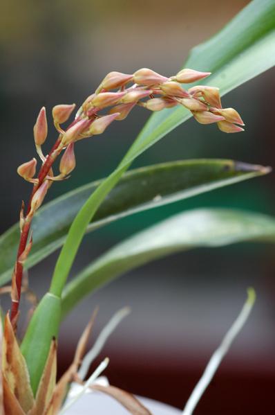 Macradenia multiflora Macrad12