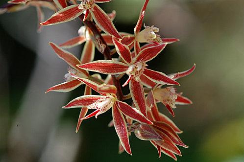 Macradenia multiflora Macrad15
