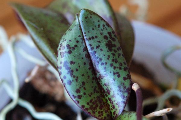 Phalaenopsis mannandra Mannan10