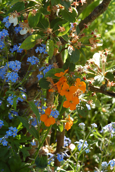 massifs en bleu - fleurs bleues et belles associations Ob_53410