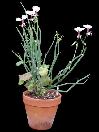 Pelargonium tetragonum - Page 2 Pelarg14