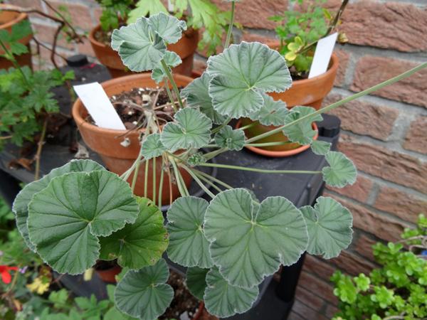 Pelargonium sidoides Pelarg19