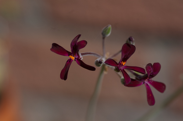 Pelargonium sidoides Pelarg20