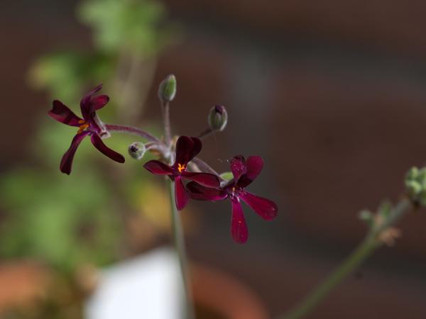 Pelargonium sidoides Pelarg21