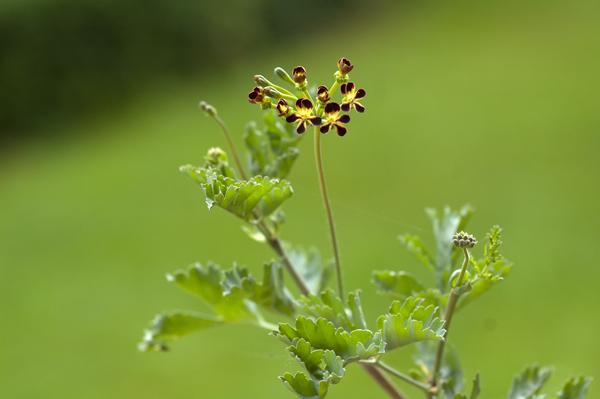 Pelargonium gibbosum - pélargonium goutteux Pelarg23