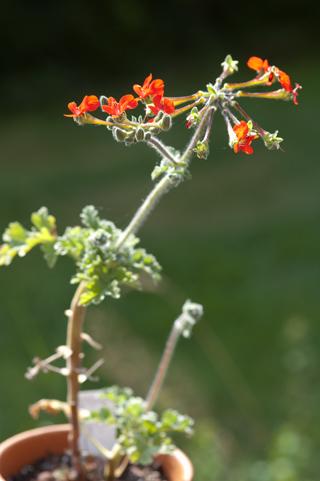 Pelargonium fulgidum Pelarg25