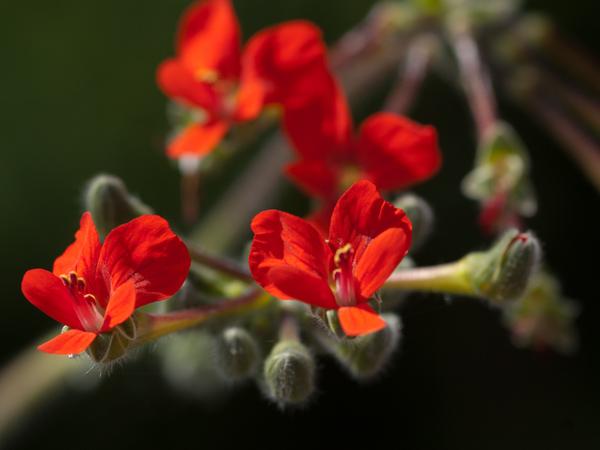 Pelargonium fulgidum Pelarg27