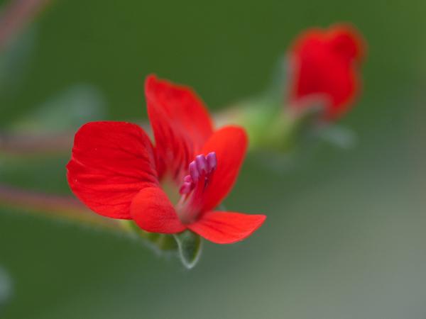 Pelargonium fulgidum Pelarg29