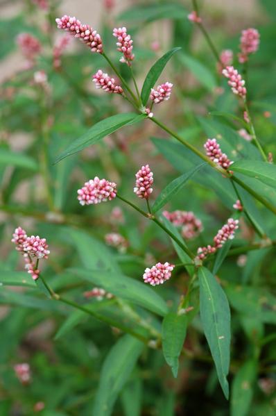 Persicaria (= Polygonum) - les renouées Persic10
