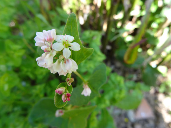 Fagopyrum esculentum - sarrasin comestible Persic11