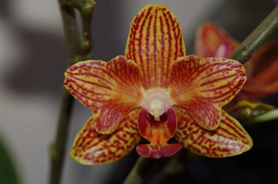pélorisme chez les orchidées Phal-p10