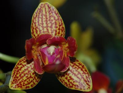pélorisme chez les orchidées Phal-p12