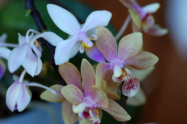 Phalaenopsis mannandra Phal10