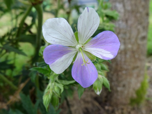 Geranium pratense 'Splish Splash' Praten14