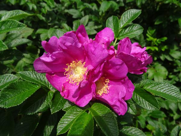 j'ai descendu dans mon jardin - Page 5 Rosa_r10