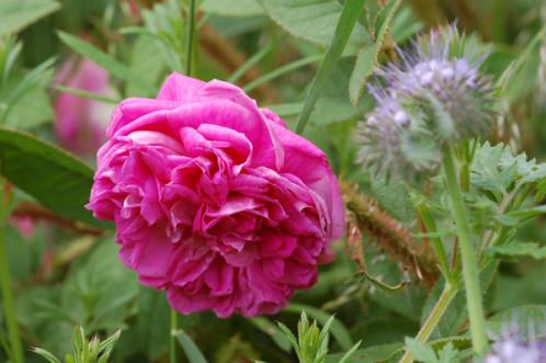 massifs en bleu - fleurs bleues et belles associations Rosier15