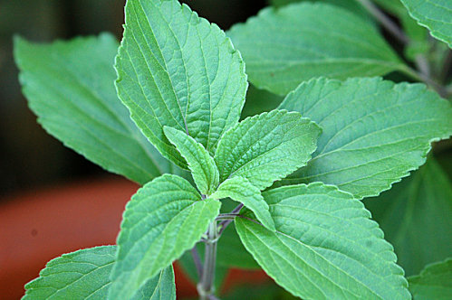 Salvia 'Mystic Spires' Salvia12