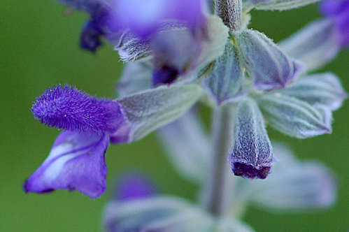 Salvia 'Mystic Spires' Salvia13