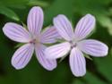 Geranium vivaces - leurs expositions Asphod10