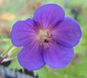 Geranium vivaces - leurs expositions Blue_s10