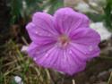 Geranium vivaces - leurs expositions Breath10