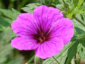 Geranium vivaces - leurs expositions Bressi10
