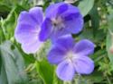 Geranium vivaces - leurs expositions Brooks10