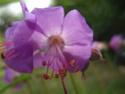 Geranium vivaces - leurs expositions Cantab10