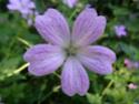 Geranium vivaces - leurs expositions Clarid10
