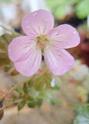 Geranium vivaces - leurs expositions Dusky_10