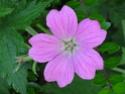 Geranium vivaces - leurs expositions Endres10