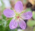 Geranium vivaces - leurs expositions Fay_an10