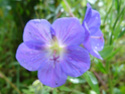 Geranium vivaces - leurs expositions Himala10