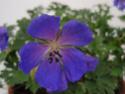 Geranium vivaces - leurs expositions Johnso10