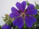 Geranium vivaces - leurs expositions Magnif10