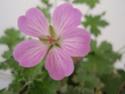 Geranium vivaces - leurs expositions Mavis_10