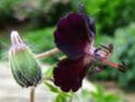 Geranium vivaces - leurs expositions Mourni10