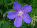 Geranium vivaces - leurs expositions Nimbus11