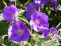 Geranium vivaces - leurs expositions Orion110