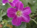 Geranium vivaces - leurs expositions Orkney10