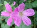 Geranium vivaces - leurs expositions Oxonia10