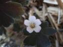 Geranium vivaces - leurs expositions Oxonia11