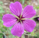 Geranium vivaces - leurs expositions Patric10